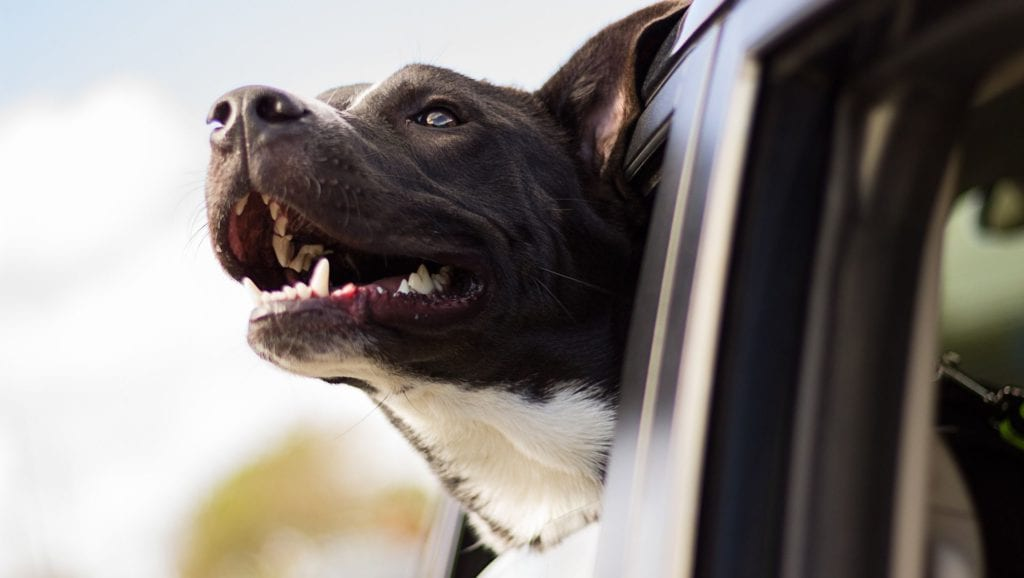 hund kigger ud af bilvindue