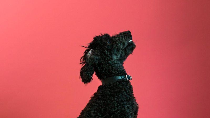 pudelhund kigger opVuffeli hundeblog
