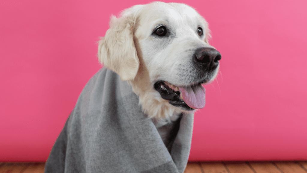 hund med tæppe påVuffeli hundeblog