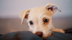hundehvalp ligger i blød seng eller sofa
