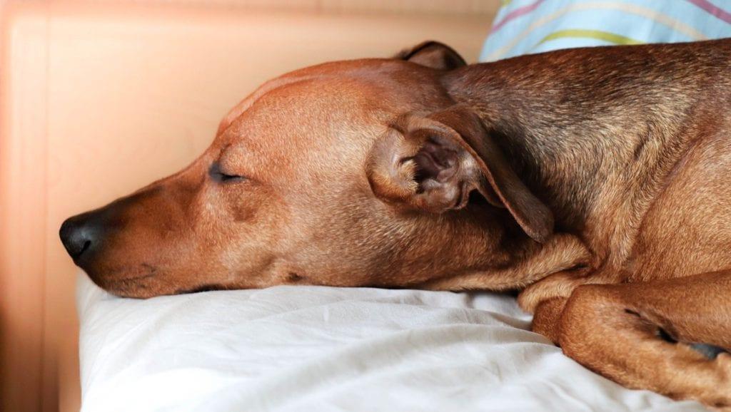 brun hund sover i seng