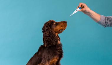 hund og termometer til at diagnosticere feber