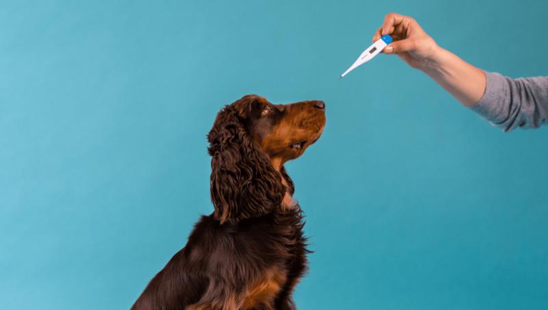hund og termometer til at diagnosticere feberVuffeli hundeblog