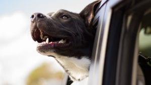 hund kigger ud af bil