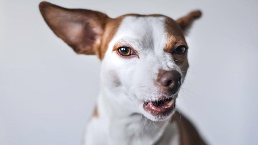 hund kigger på en