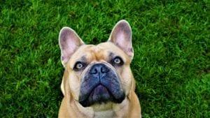 brun fransk bulldog i græs