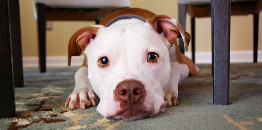 hund ligger hjemme på et tæppe under bordetVuffeli hundeblog