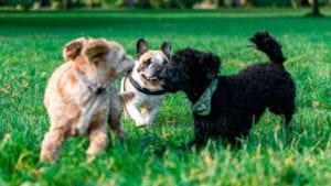 hunde leger sammen i søndermarken