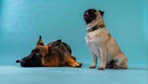 schæferhund ligger mops kigger blå baggrund