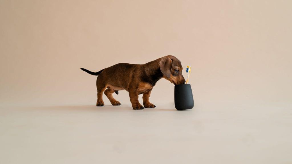 hund kigger ned i tandbørstenVuffeli hundeblog