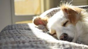 hund ligger i tæppe og sover