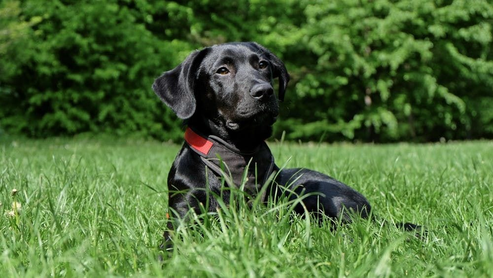 labrador ligger i græs
