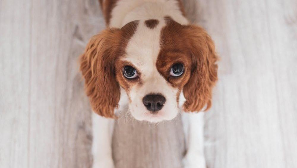 hund kigger op - cavelier king charles spanielVuffeli hundeblog