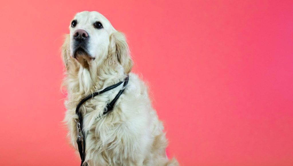 golden retriever med snor til at gå turVuffeli hundeblog