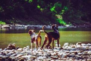 hunde kigger ud til åen