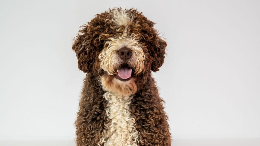 spansk vandhund stor pelsVuffeli hundeblog