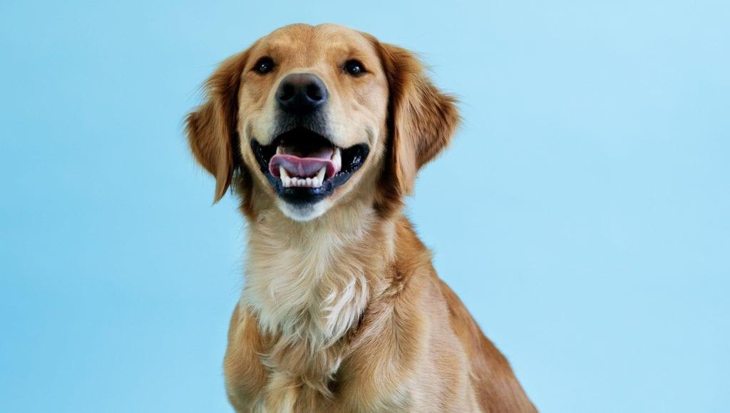 golden retriever blå baggrundVuffeli hundeblog