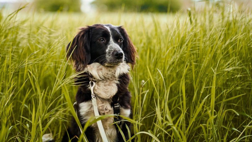 hund i græs