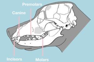 hundens tænder