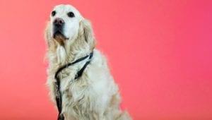 hund med snor - lære at gå i snor