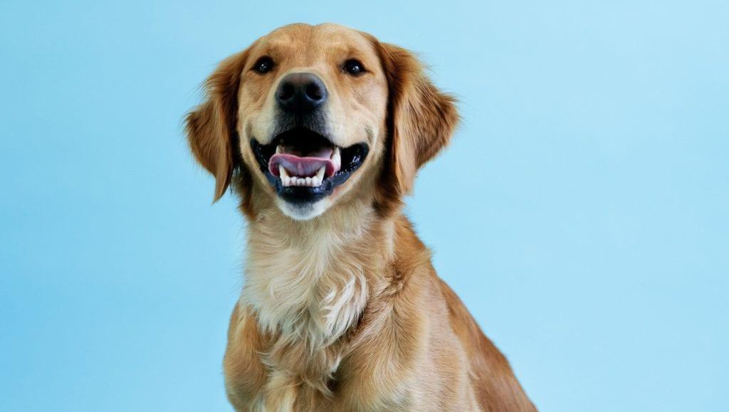 golden blå baggrundVuffeli hundeblog