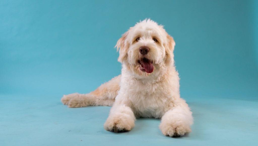 hvid hund med tungen udeVuffeli hundeblog
