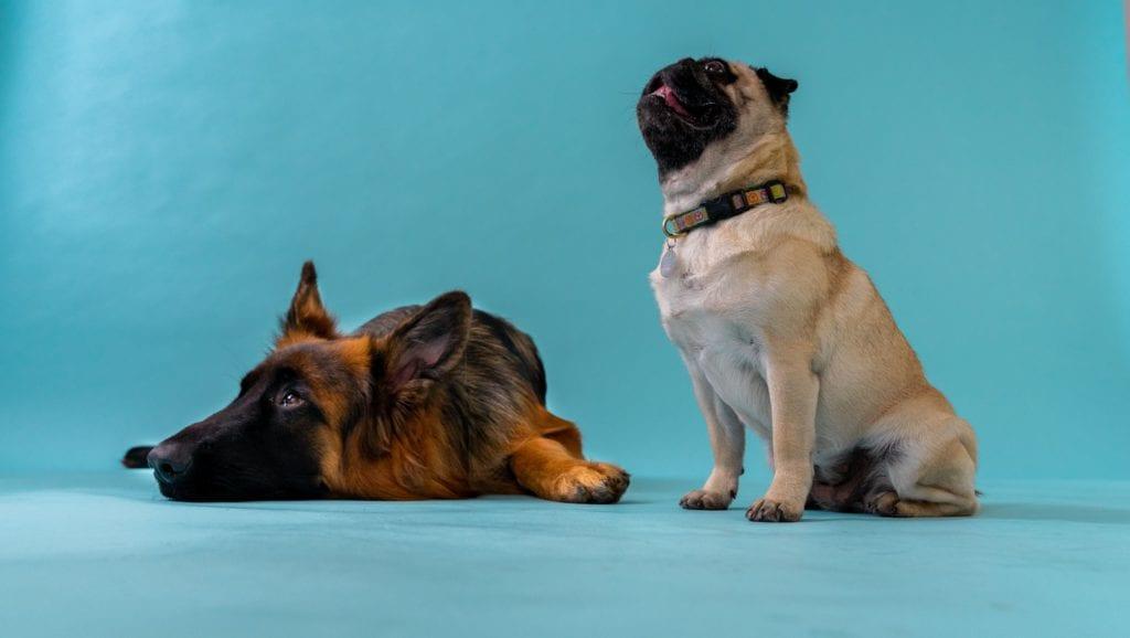 mops kigger op og schæferhund liggerVuffeli hundeblog