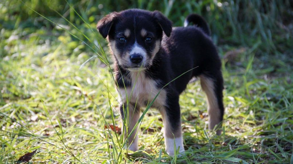 hundehvalp i græsVuffeli hundeblog