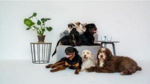 populære hunderacer portræt