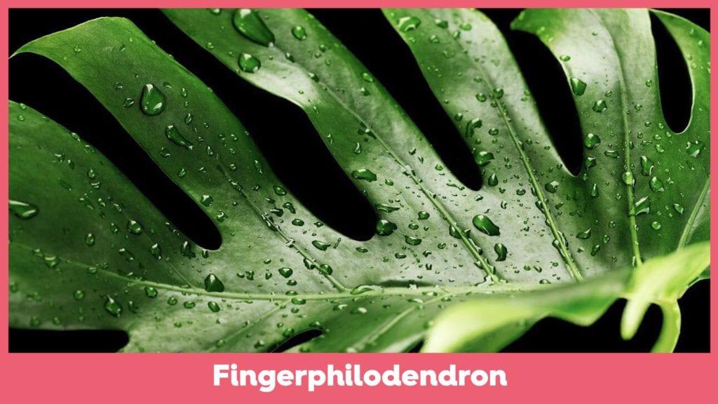 Fingerphilodendron