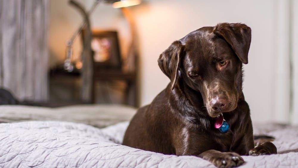 labrador retriever brun i sengVuffeli hundeblog