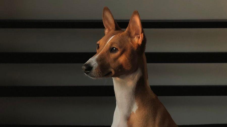 hund kigger koncentreret på nogetVuffeli hundeblog