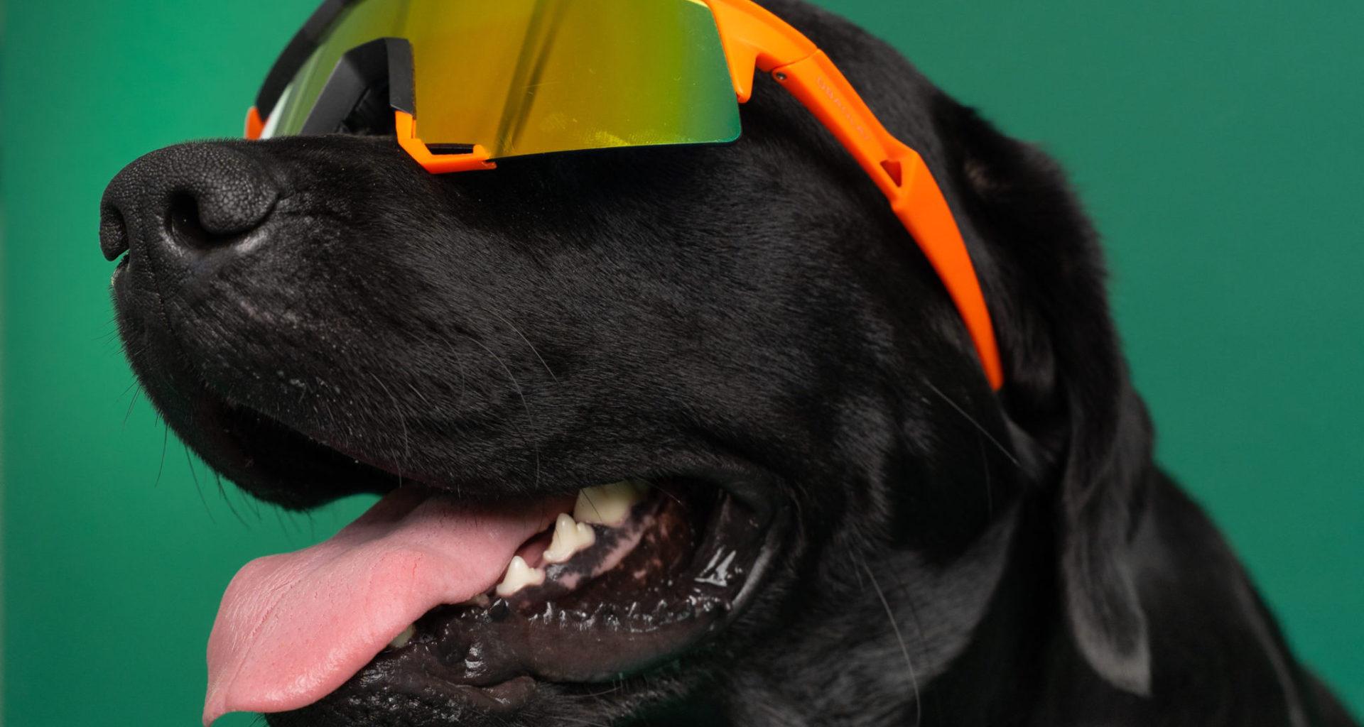 hund med solbriller på